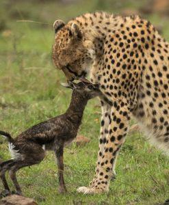 serengeti cheetah ndutu area