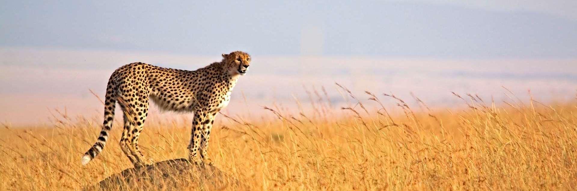 Serengeti plain cheetah scanning fro pray